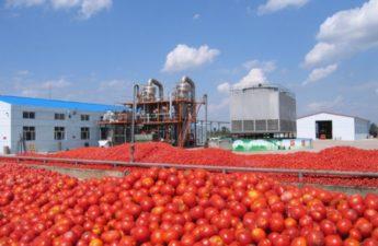 Katsina State establishes tomato factory