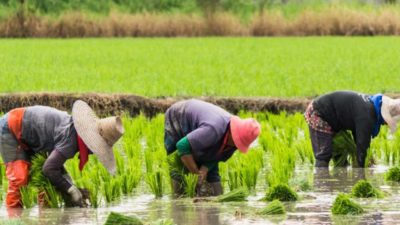 FADAMA grooms 7,000 households in Enugu State for rice production